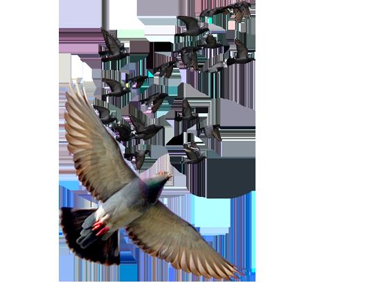 foto-palomas